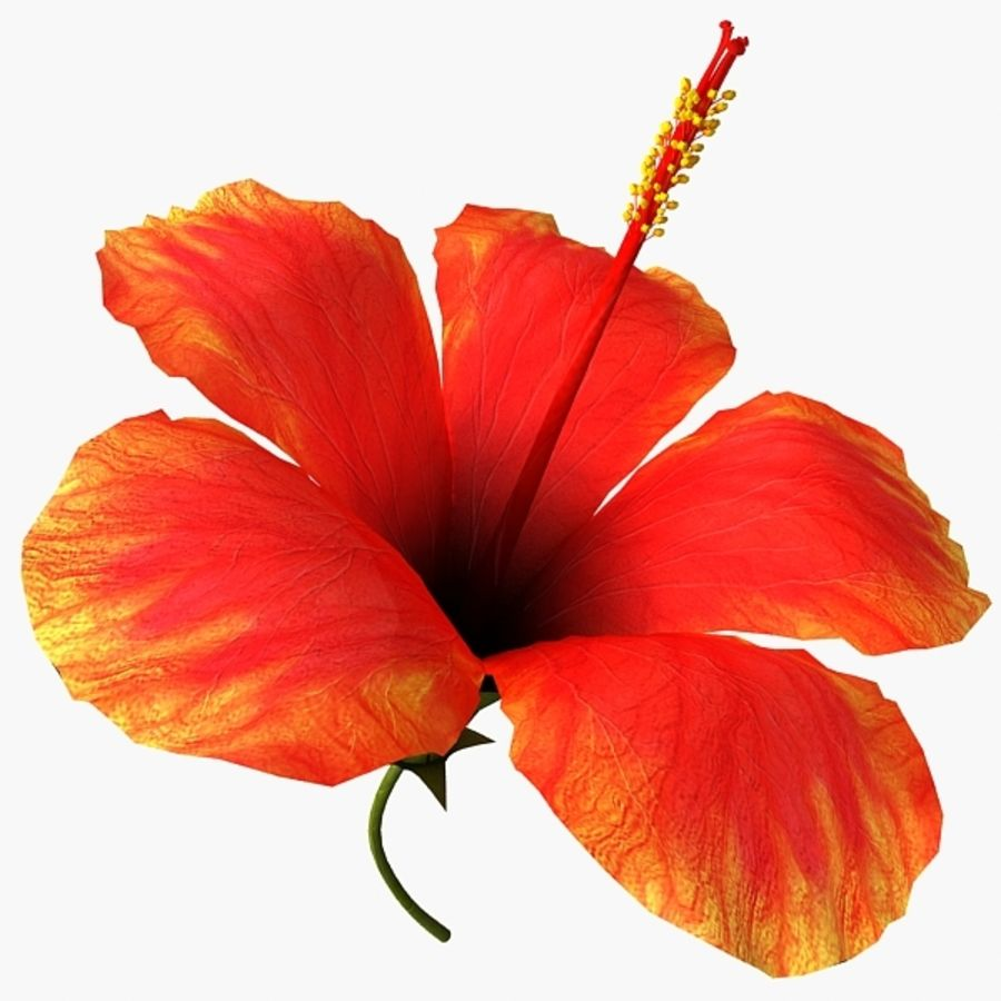 Hibiscus bloem royalty-free 3d model - Preview no. 5