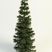 picea abies Norway Spruce 3d model