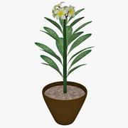 흰 꽃 Plumeria 3d model