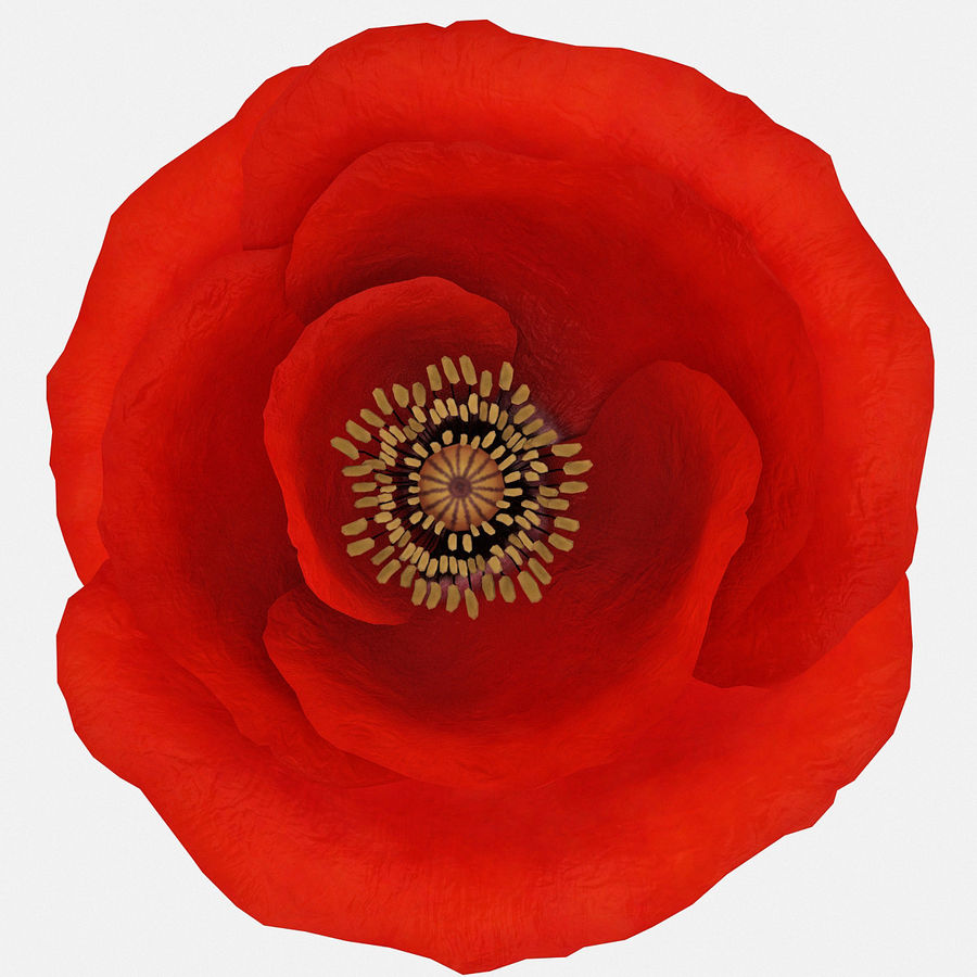 Red Poppy royalty-free 3d model - Preview no. 8