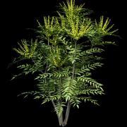 Mahonia japonica 3d model