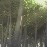 MR Render Hazır Ağaçlar -Tall Piney tipi 3d model