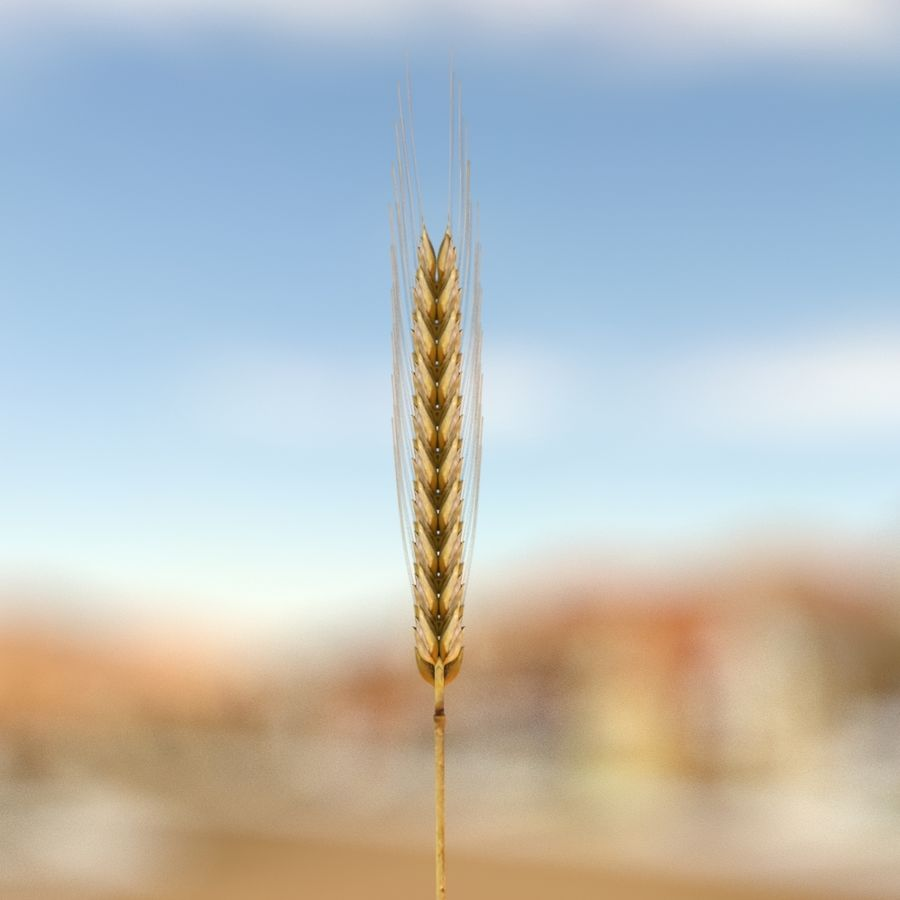 summer wheat royalty-free 3d model - Preview no. 3