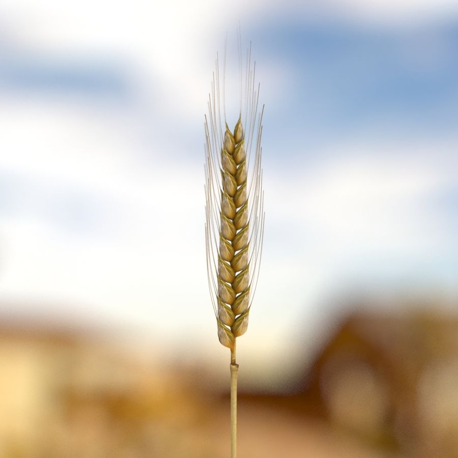 summer wheat royalty-free 3d model - Preview no. 2