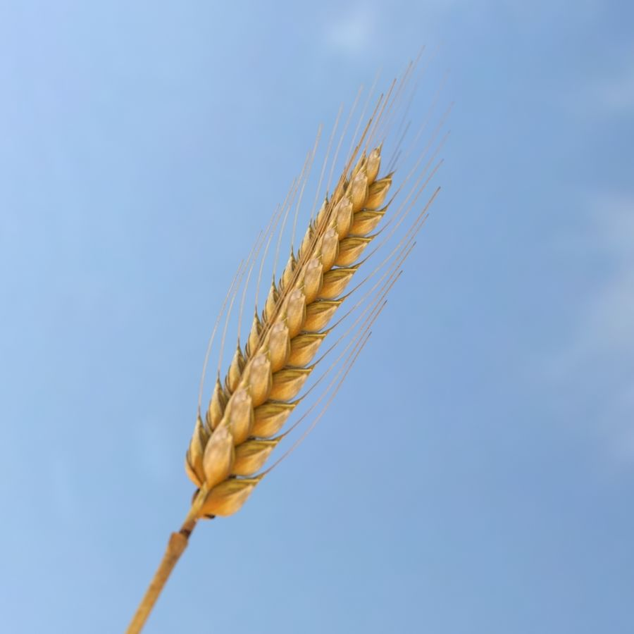summer wheat royalty-free 3d model - Preview no. 5