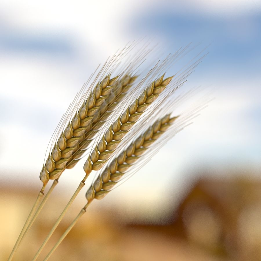 summer wheat royalty-free 3d model - Preview no. 1