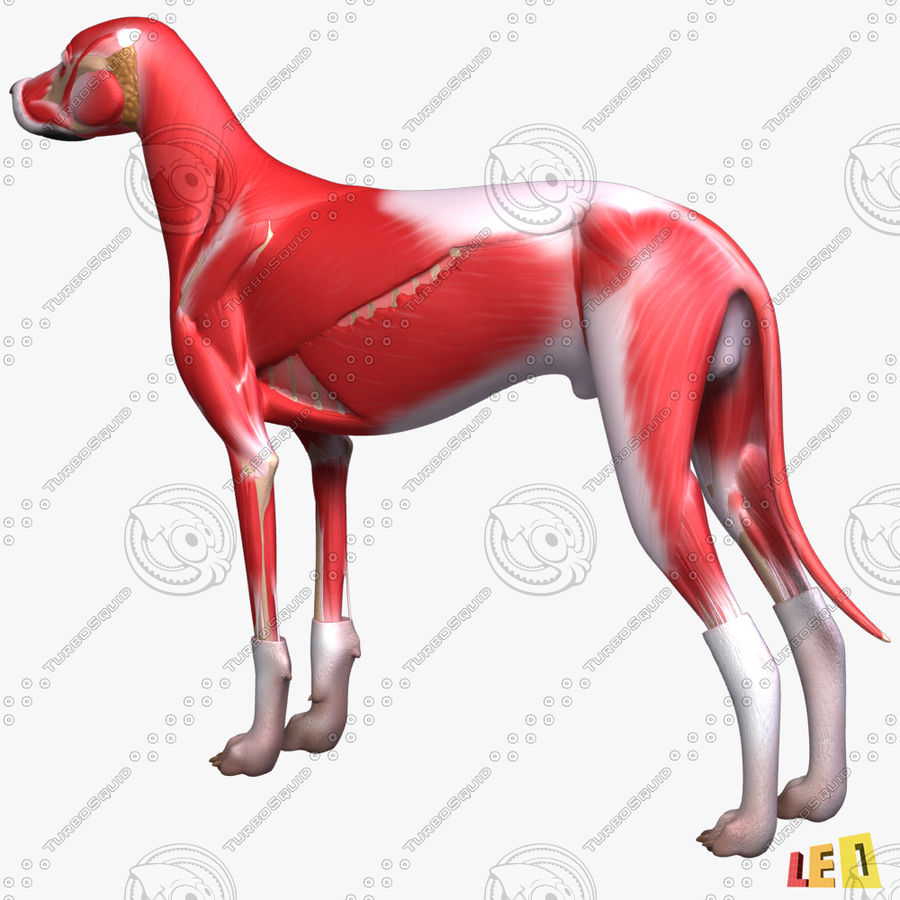Musculature canine royalty-free 3d model - Preview no. 4