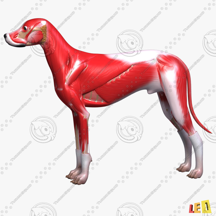 Musculature canine royalty-free 3d model - Preview no. 2