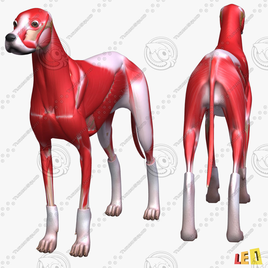 Musculature canine royalty-free 3d model - Preview no. 5