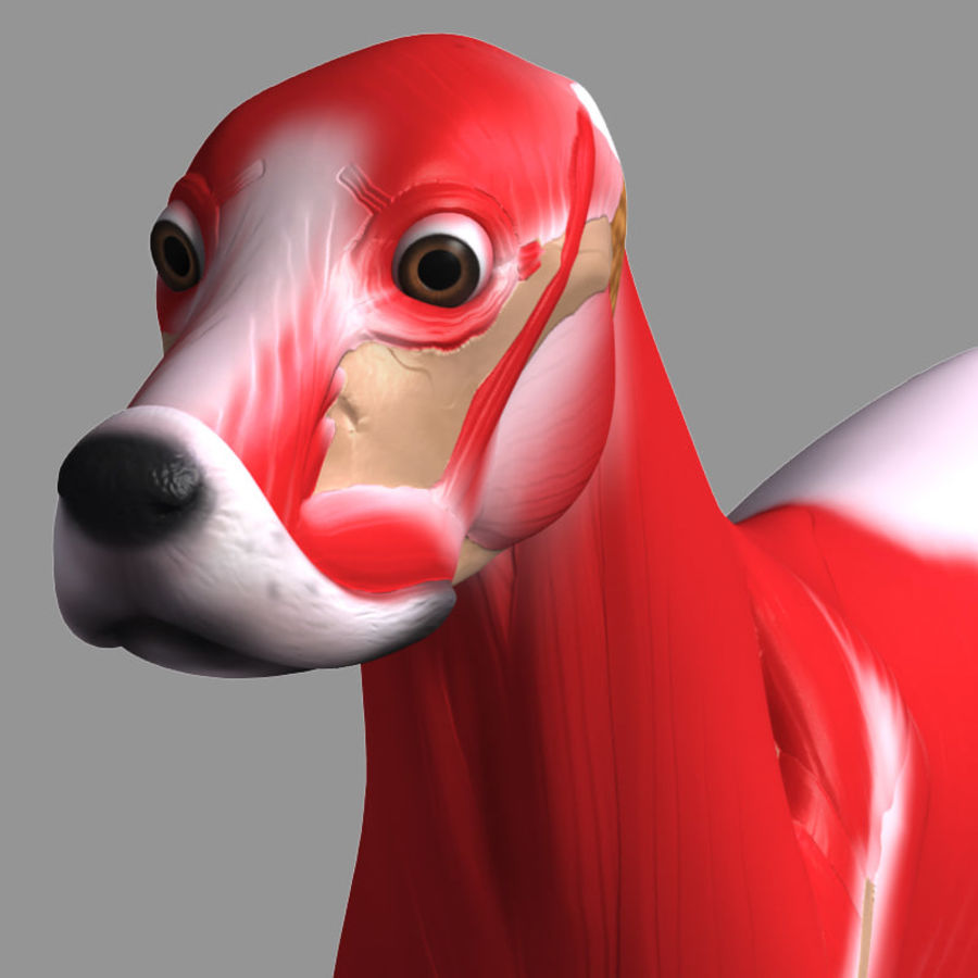 Musculature canine royalty-free 3d model - Preview no. 9