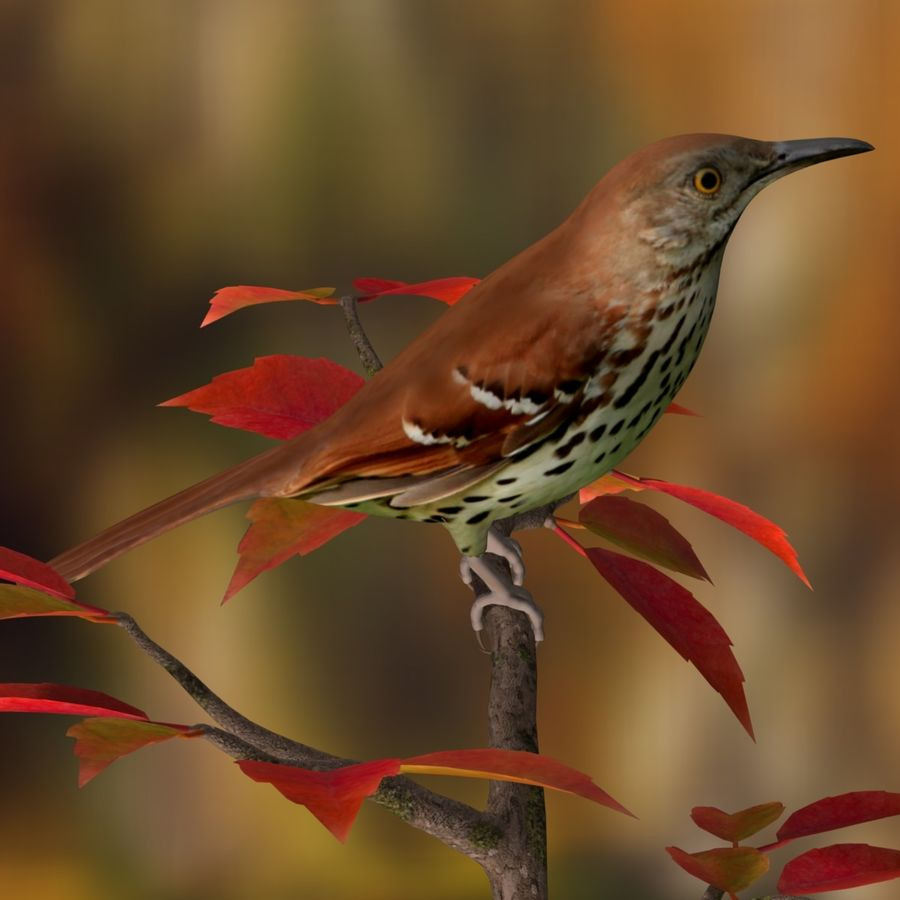 AB Brown Thrasher royalty-free 3d model - Preview no. 2