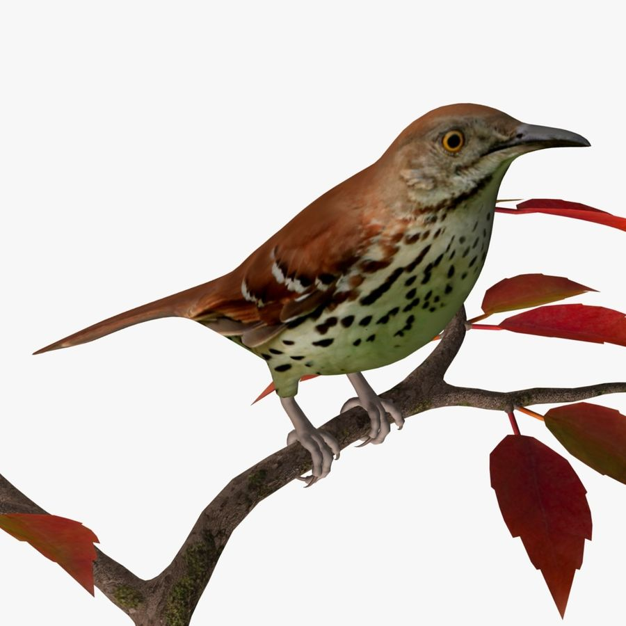 AB Brown Thrasher royalty-free 3d model - Preview no. 1