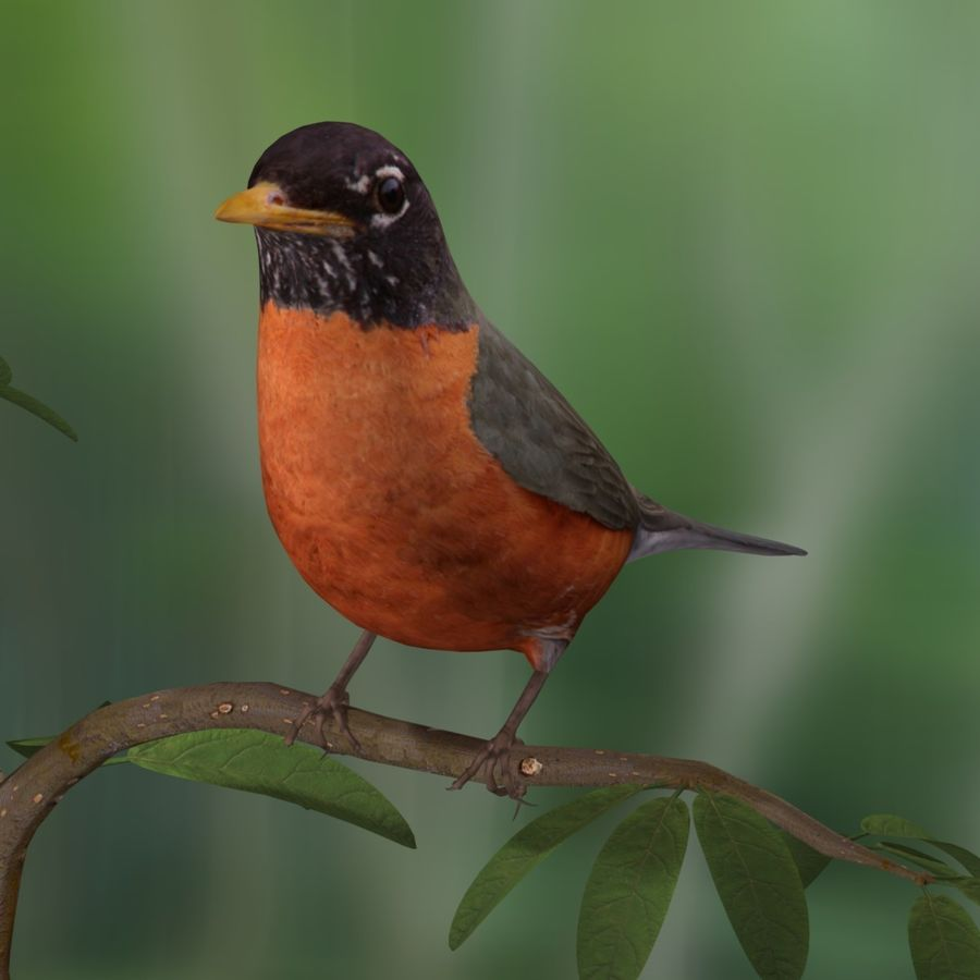 AB American Robin royalty-free 3d model - Preview no. 4
