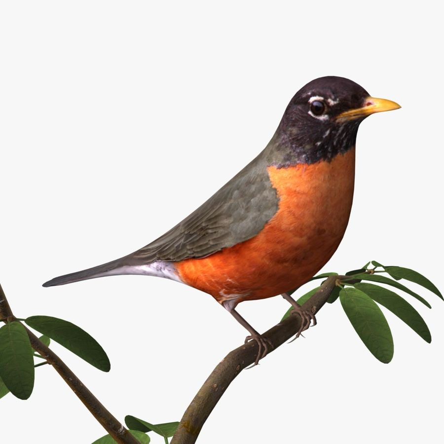 AB American Robin royalty-free 3d model - Preview no. 1
