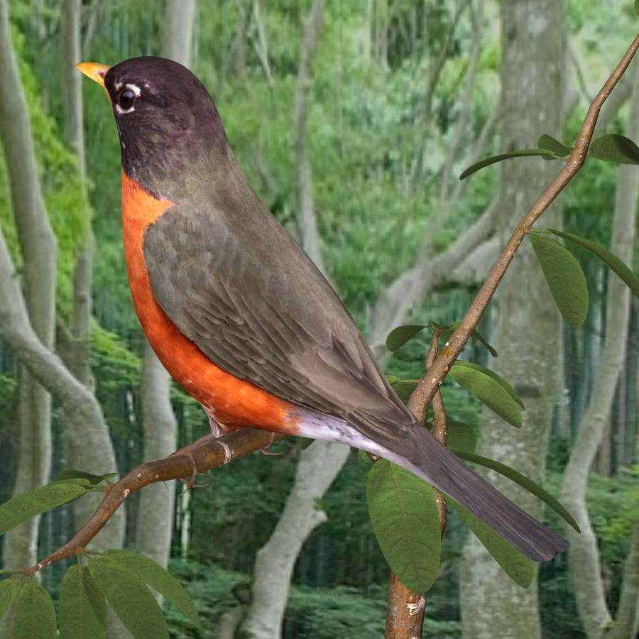 AB American Robin royalty-free 3d model - Preview no. 3