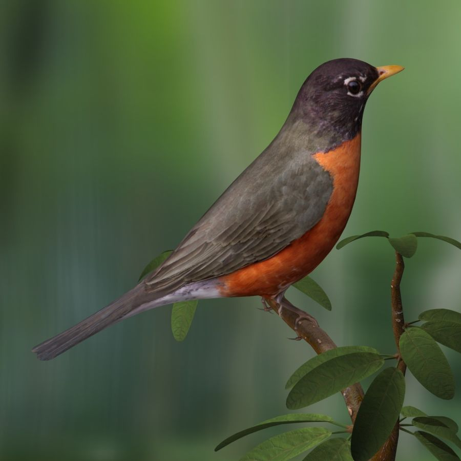 AB American Robin royalty-free 3d model - Preview no. 2