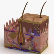 真皮解剖学 3d model