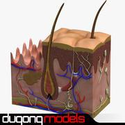 真皮の解剖学 3d model