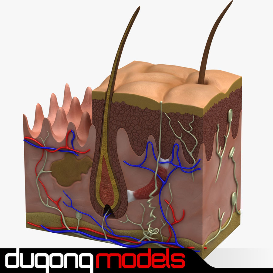 Derma Anatomia royalty-free 3d model - Preview no. 1
