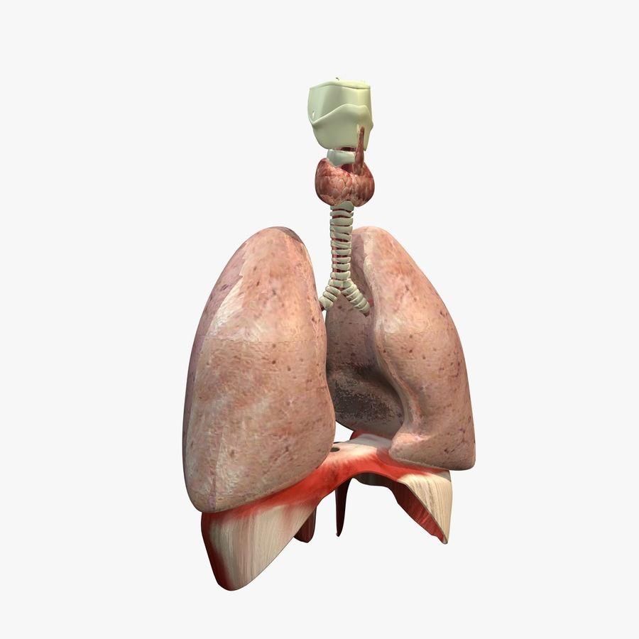 Lungs with Diaphram Anatomy 3D Model $45 -  obj  fbx  c4d