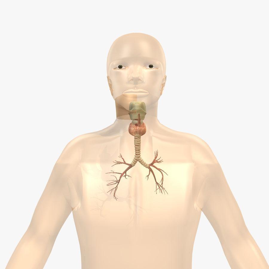 Męskie ciało i płuca royalty-free 3d model - Preview no. 7