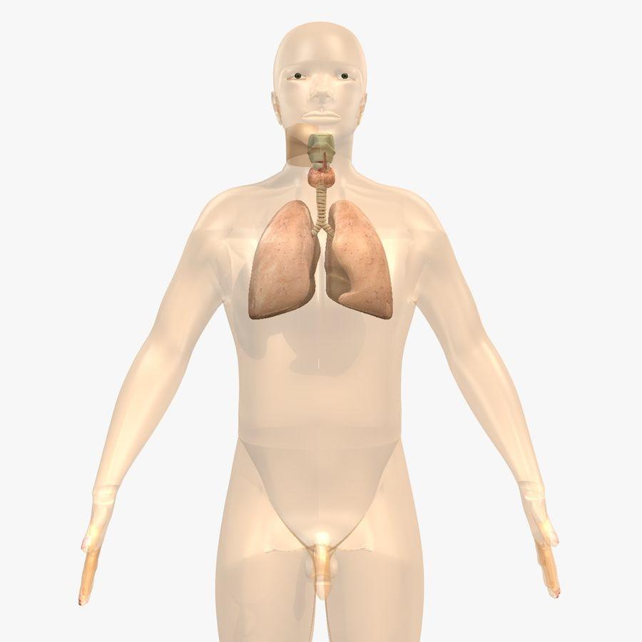 Męskie ciało i płuca royalty-free 3d model - Preview no. 3