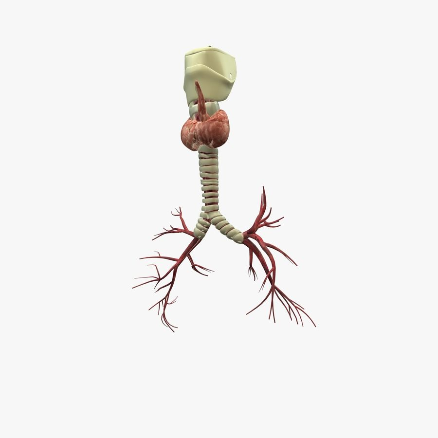 Męskie ciało i płuca royalty-free 3d model - Preview no. 17