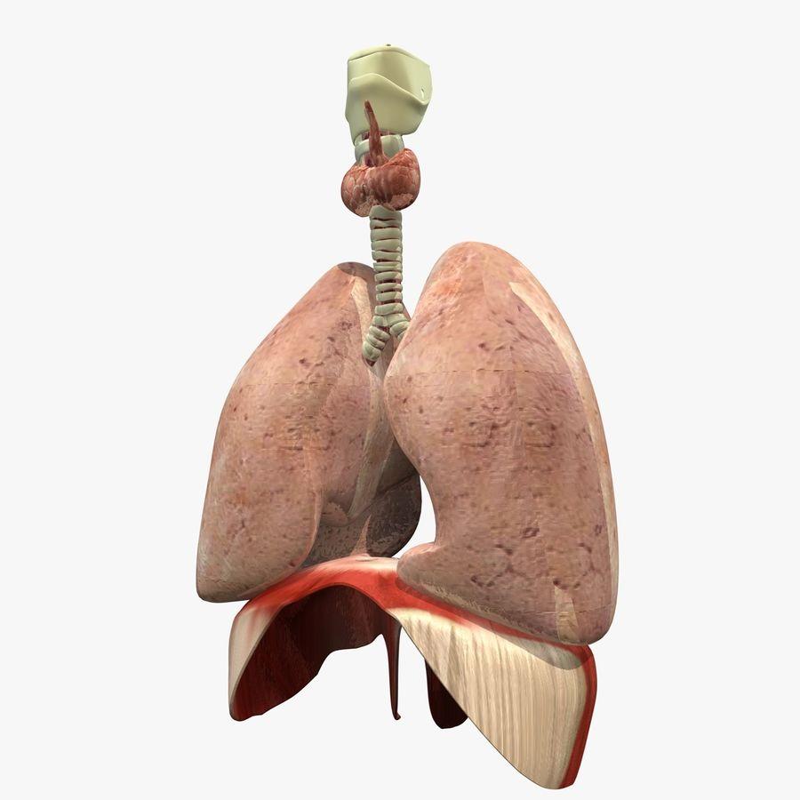 Corpo respiratorio e maschile royalty-free 3d model - Preview no. 11