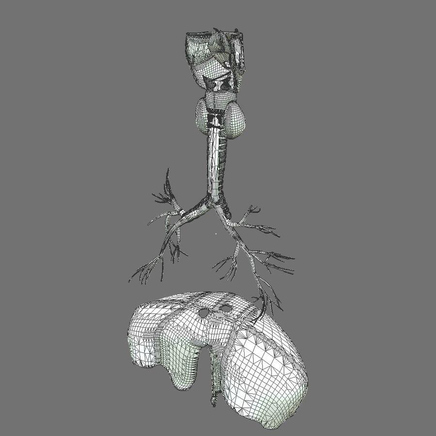 Corpo respiratorio e maschile royalty-free 3d model - Preview no. 26
