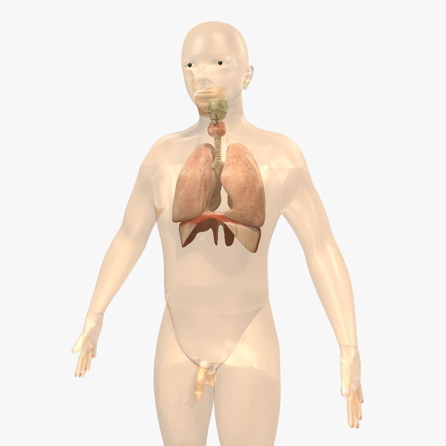 Corpo respiratorio e maschile royalty-free 3d model - Preview no. 9