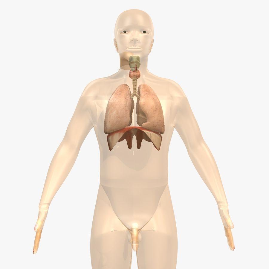 Corpo respiratorio e maschile royalty-free 3d model - Preview no. 3