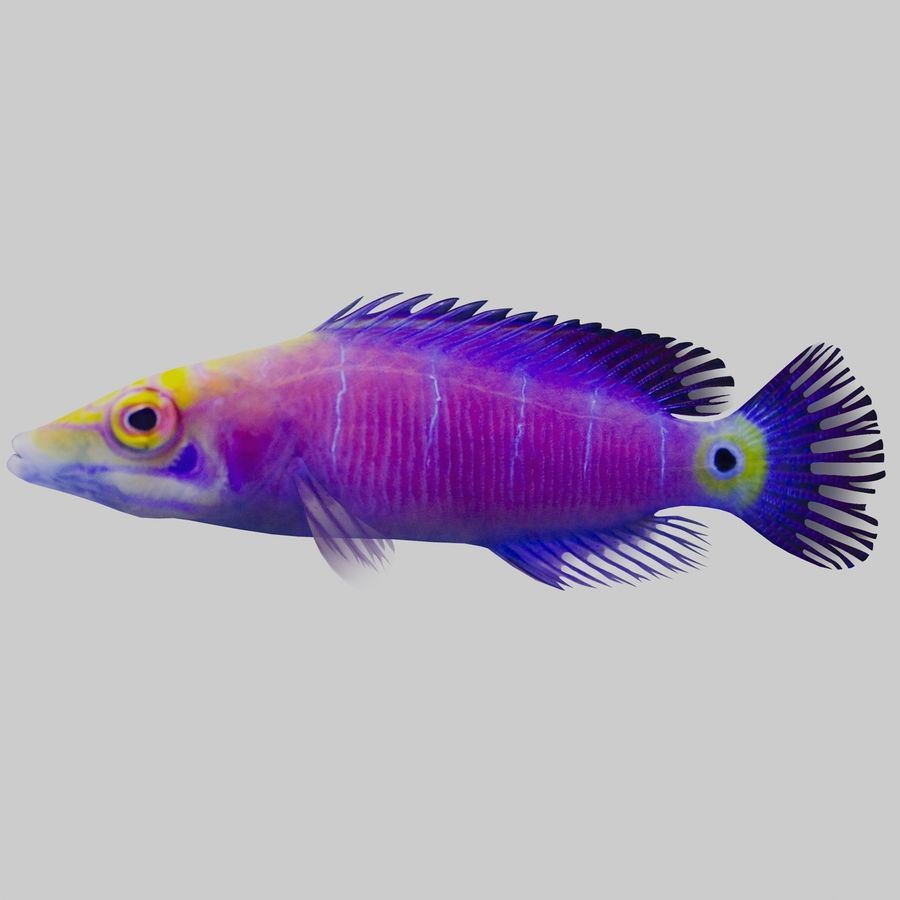 Mystery Wrasse royalty-free 3d model - Preview no. 2