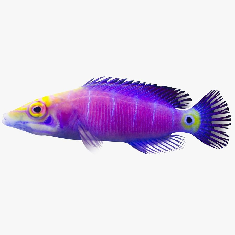 Mystery Wrasse royalty-free 3d model - Preview no. 1