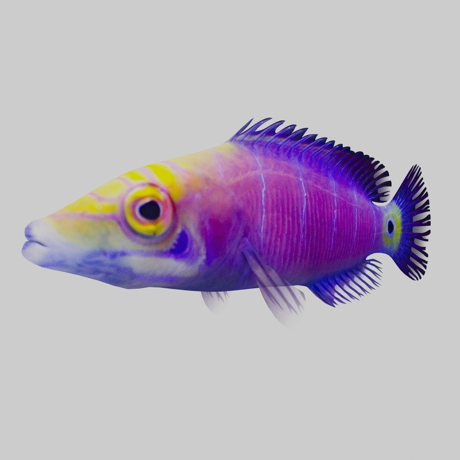 Mystery Wrasse royalty-free 3d model - Preview no. 3