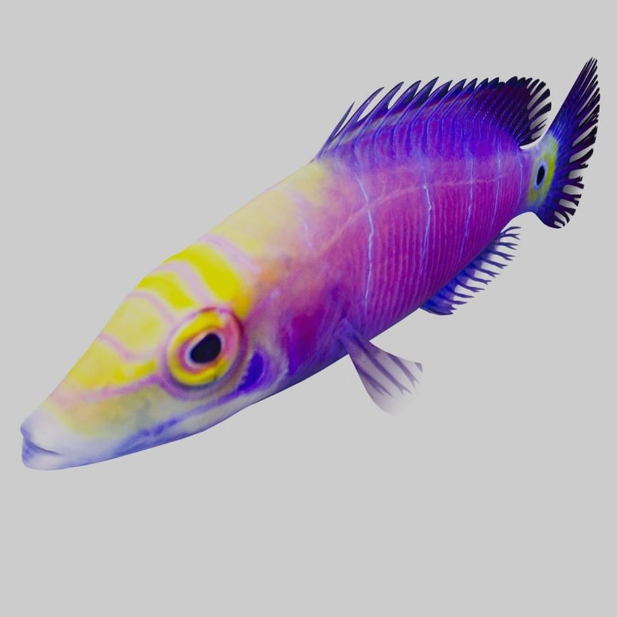 Mystery Wrasse royalty-free 3d model - Preview no. 5