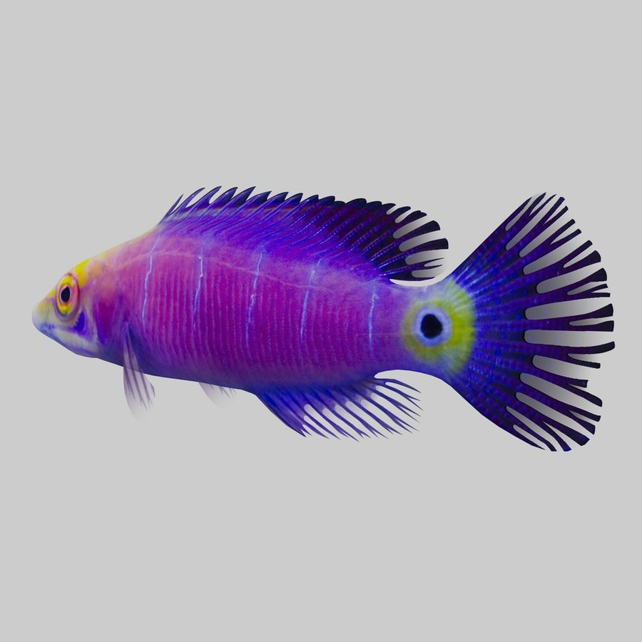 Mystery Wrasse royalty-free 3d model - Preview no. 4