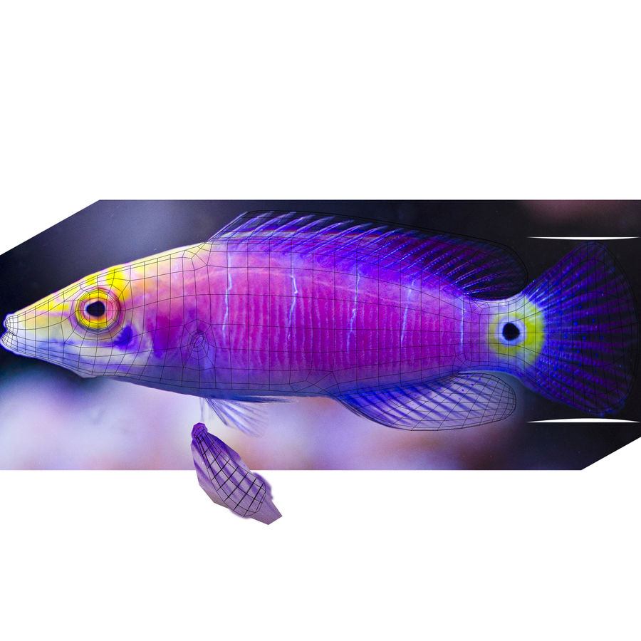 Mystery Wrasse royalty-free 3d model - Preview no. 10
