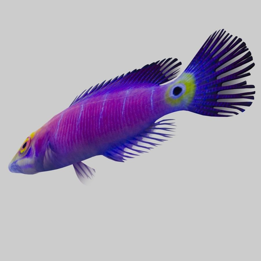 Mystery Wrasse royalty-free 3d model - Preview no. 6