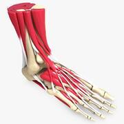 Ostateczne kości i mięśnie stopy człowieka 3d model