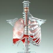 Respiratory System 3d model