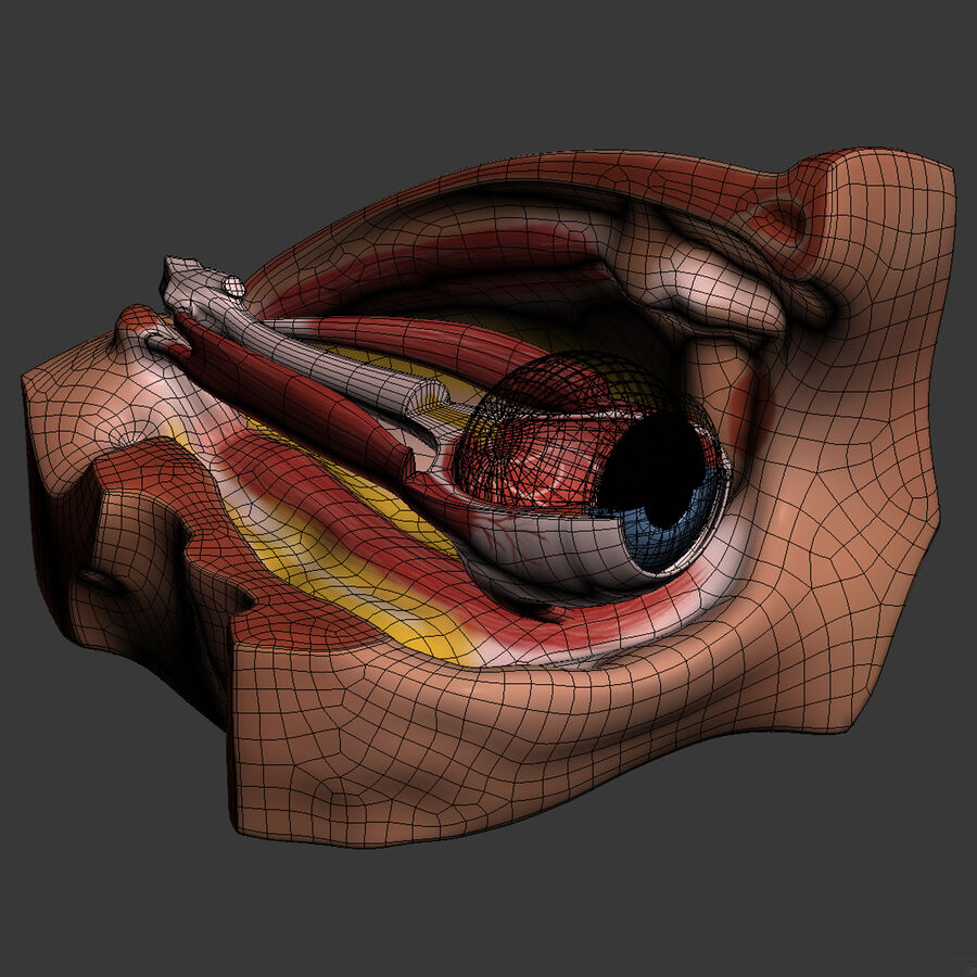 Eye Anatomy royalty-free 3d model - Preview no. 15