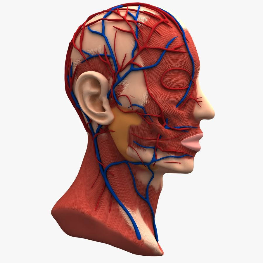Tête d'anatomie en coupe royalty-free 3d model - Preview no. 8