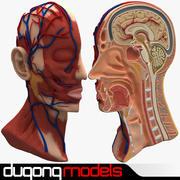 Tête d'anatomie en coupe 3d model