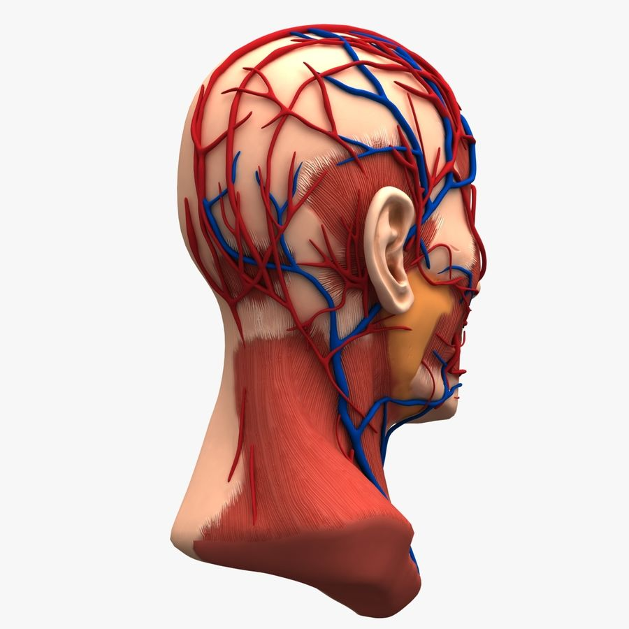 Tête d'anatomie en coupe royalty-free 3d model - Preview no. 7