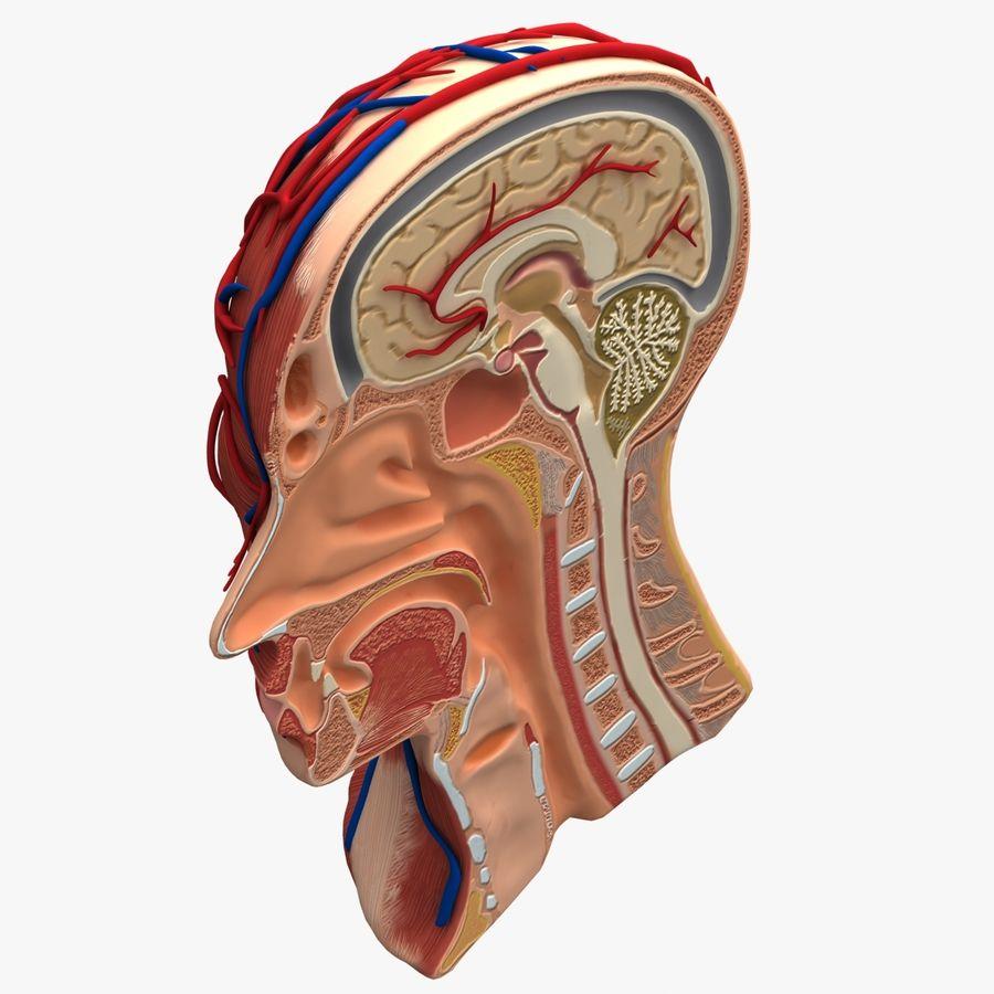 Anatomy Head Cutaway royalty-free 3d model - Preview no. 3