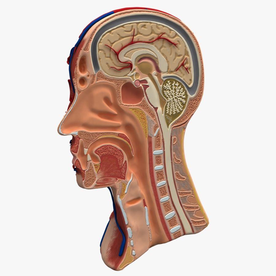 Anatomy Head Cutaway royalty-free 3d model - Preview no. 2