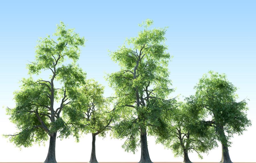 Kolekcja drzew jesionowych Fraxinus royalty-free 3d model - Preview no. 7