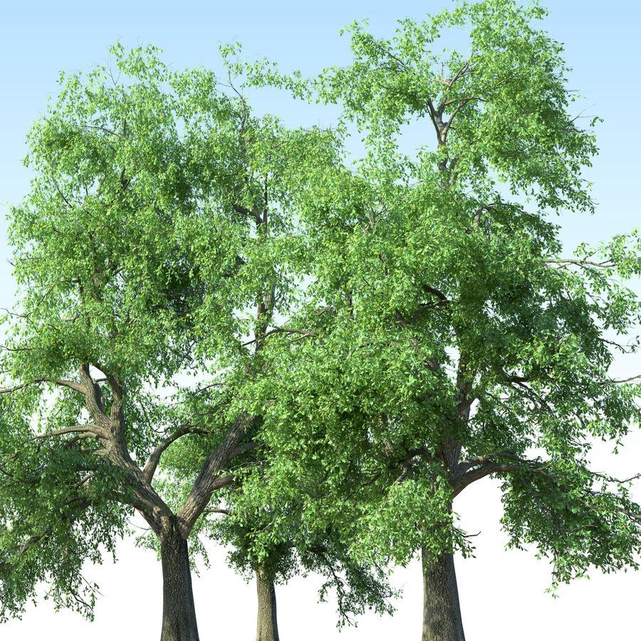 Kolekcja drzew jesionowych Fraxinus royalty-free 3d model - Preview no. 3