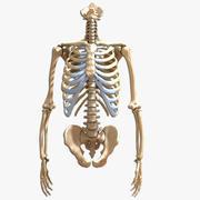 Конечный человеческий скелет торса и рук 3d model