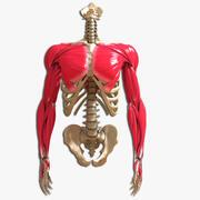 팔을 가진 궁극의 인간 몸통 3d model